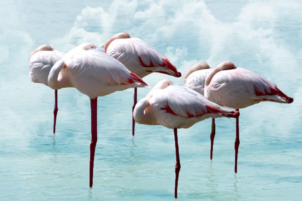 hyvän unen salaisuus- flamingoiden uni